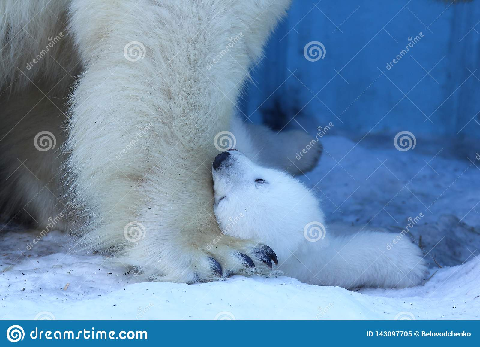Mamá del oso polar con los gemelos