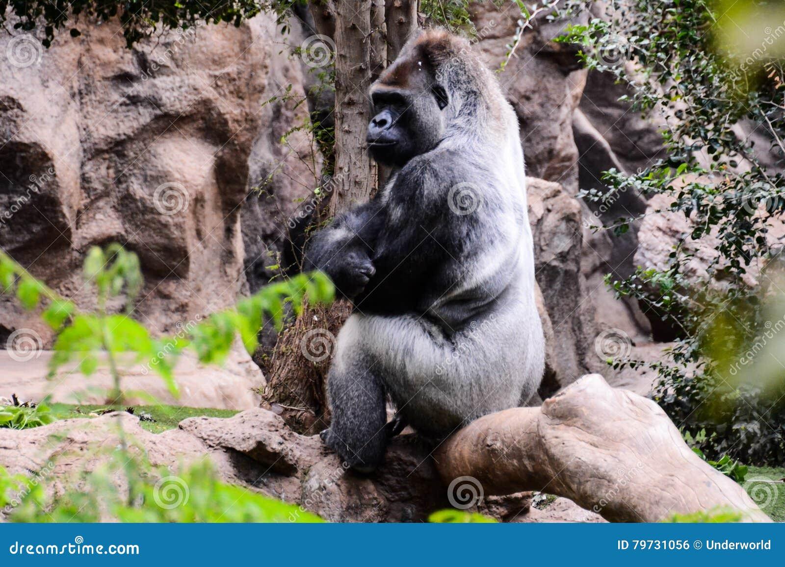 Mamífero grande Gray Adult Strong Gorilla
