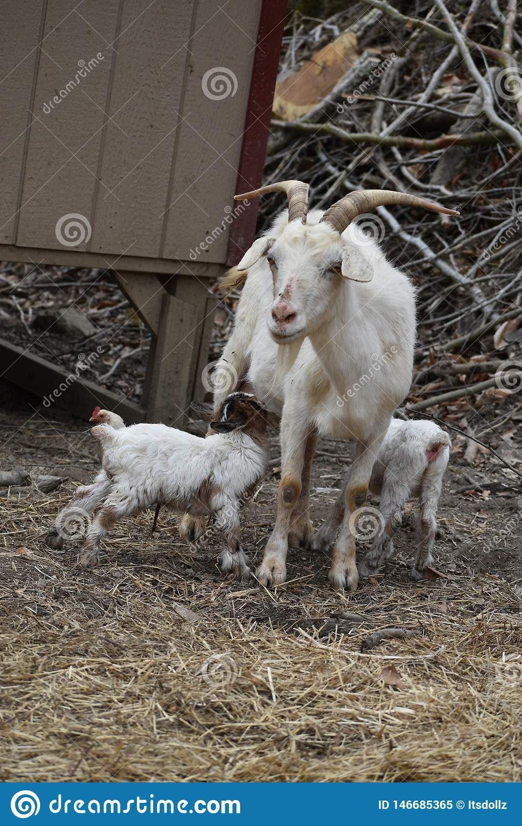 Mama And Baby Goats Feeding Stock Image - Image of west, have: 146685365
