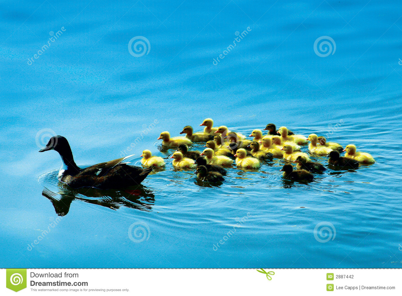 Mama Duck and Babies Swimming