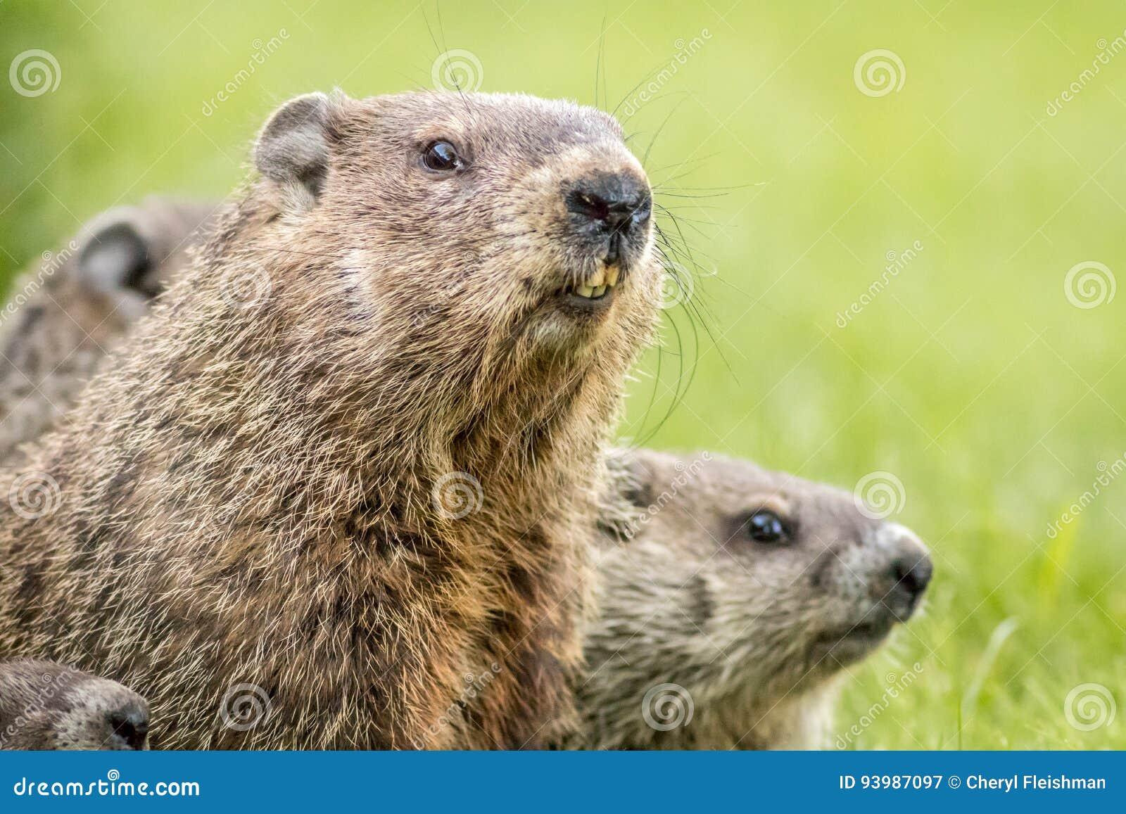Mama groundhog z dziećmi