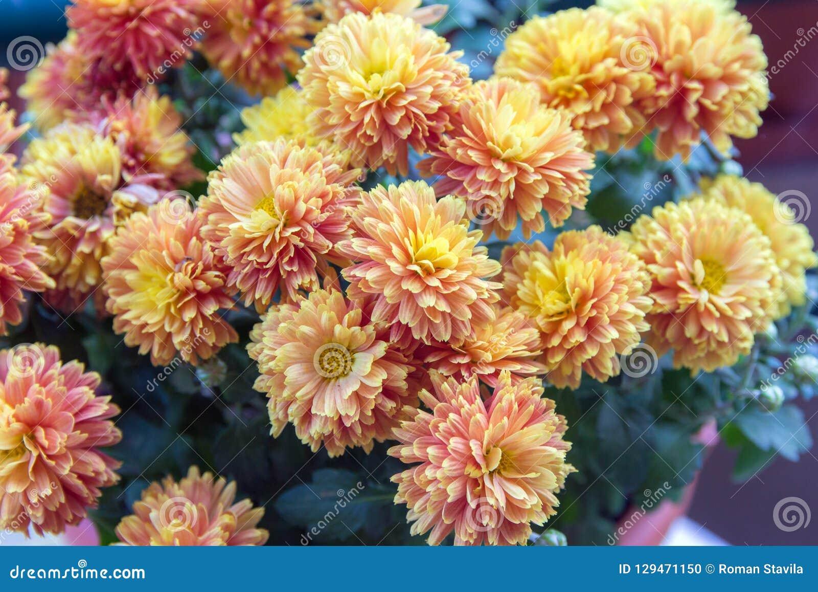 Maman-chrysanthème Jaune De Fleur-floraison De Jardin D\'automne ...