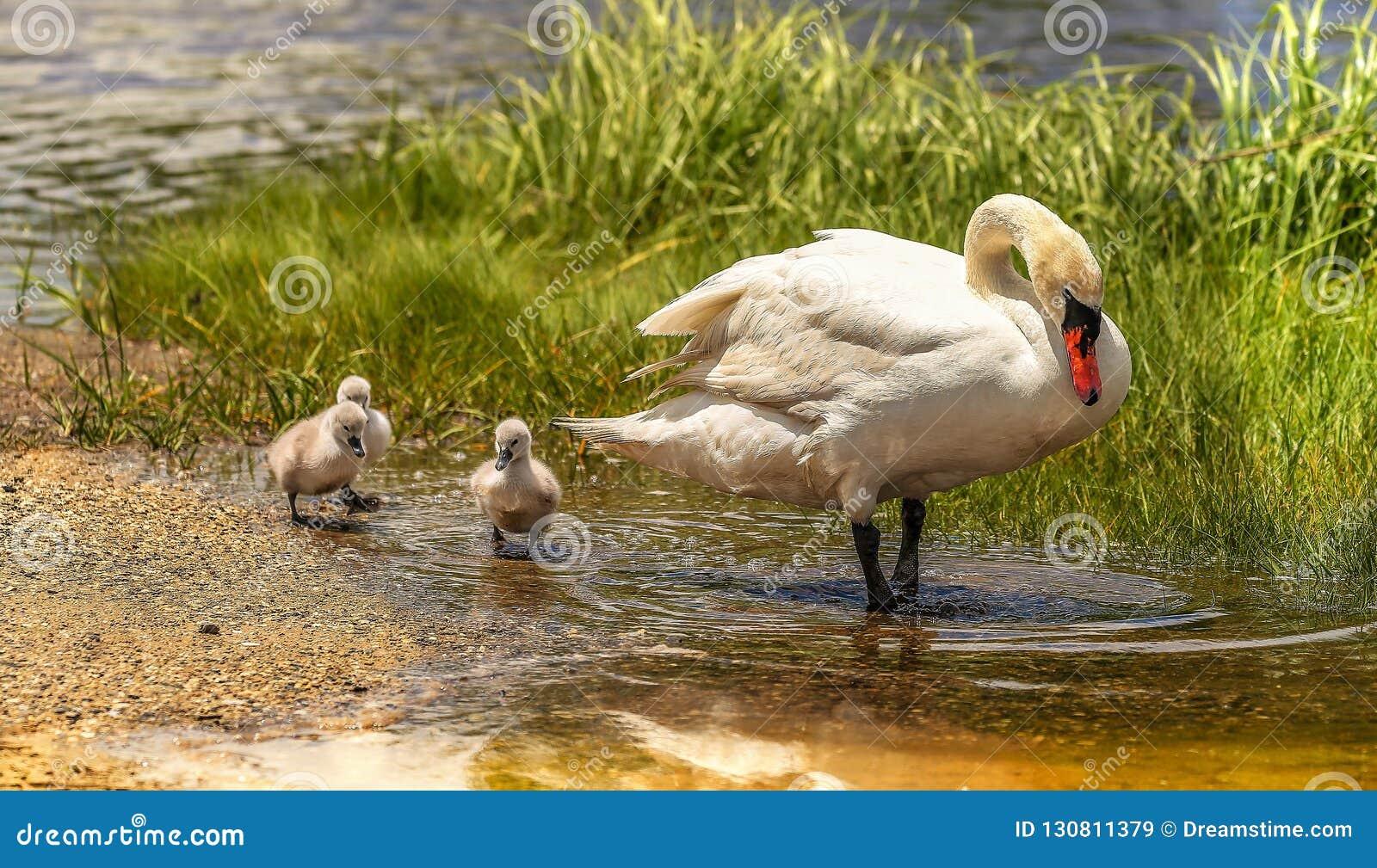 Maman et les trois jeunes cygnes