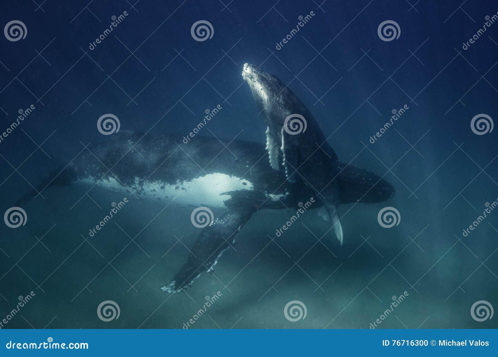 Maman et veau de baleine de bosse