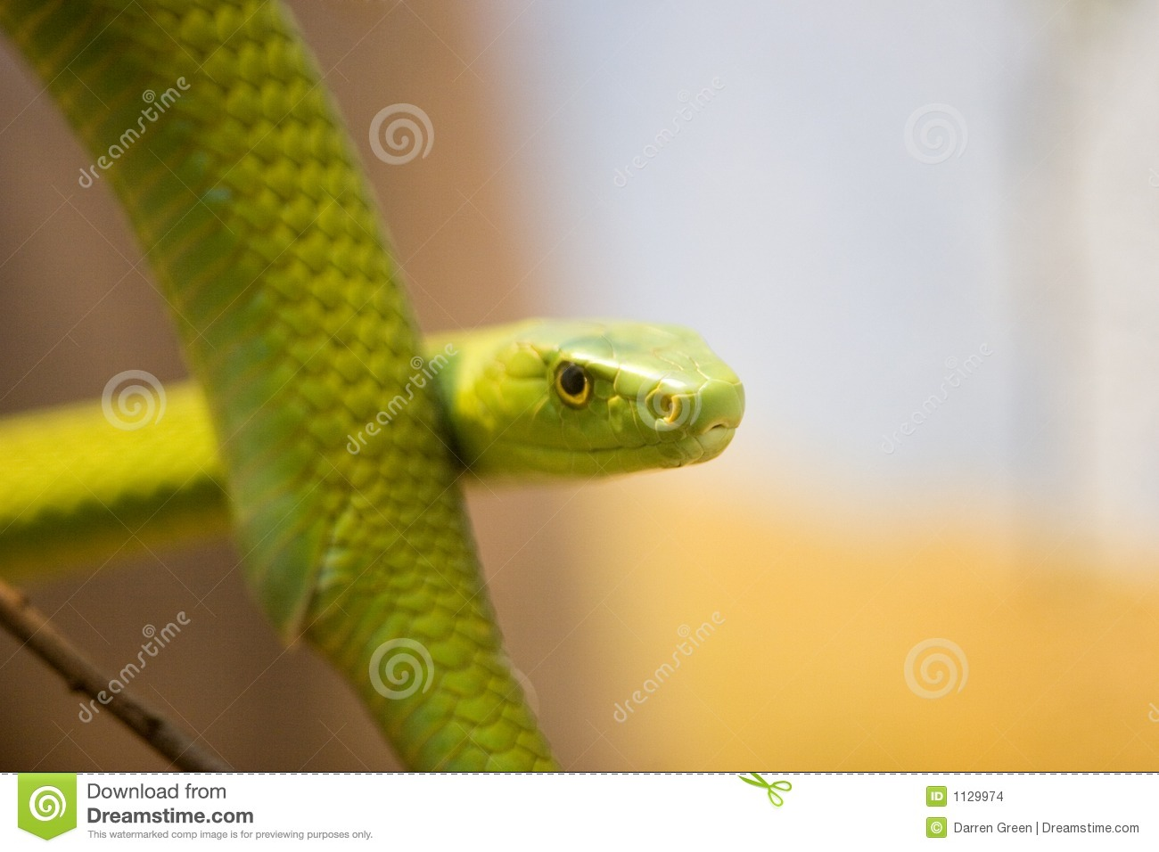 Mamba verde, Dendroaspis Angusticeps