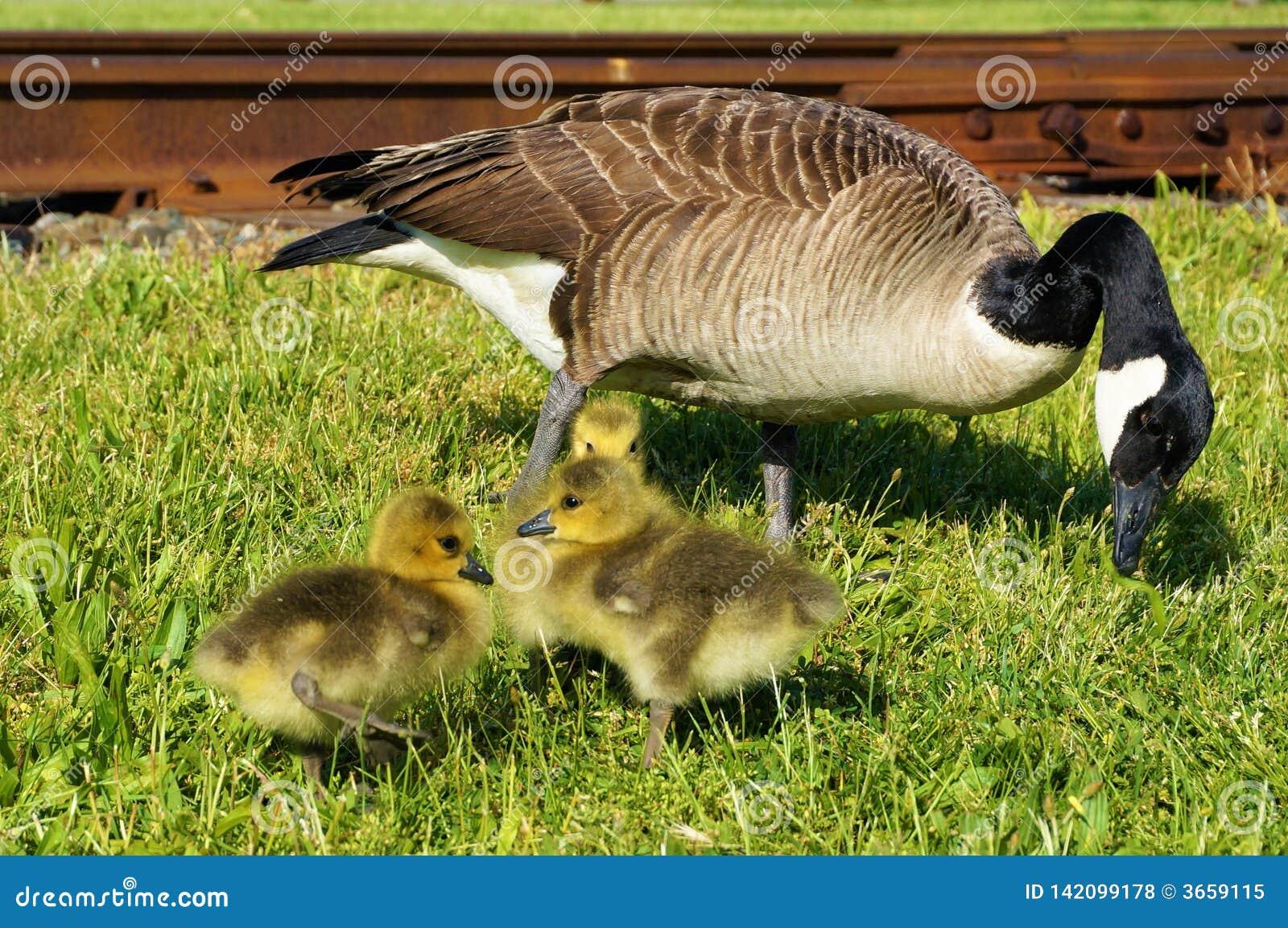 Mamma canadese dell oca che pizzica erba con 3 bambini che prendono il sole vicino Un pulcino sta dando una occhiata a dietro gli