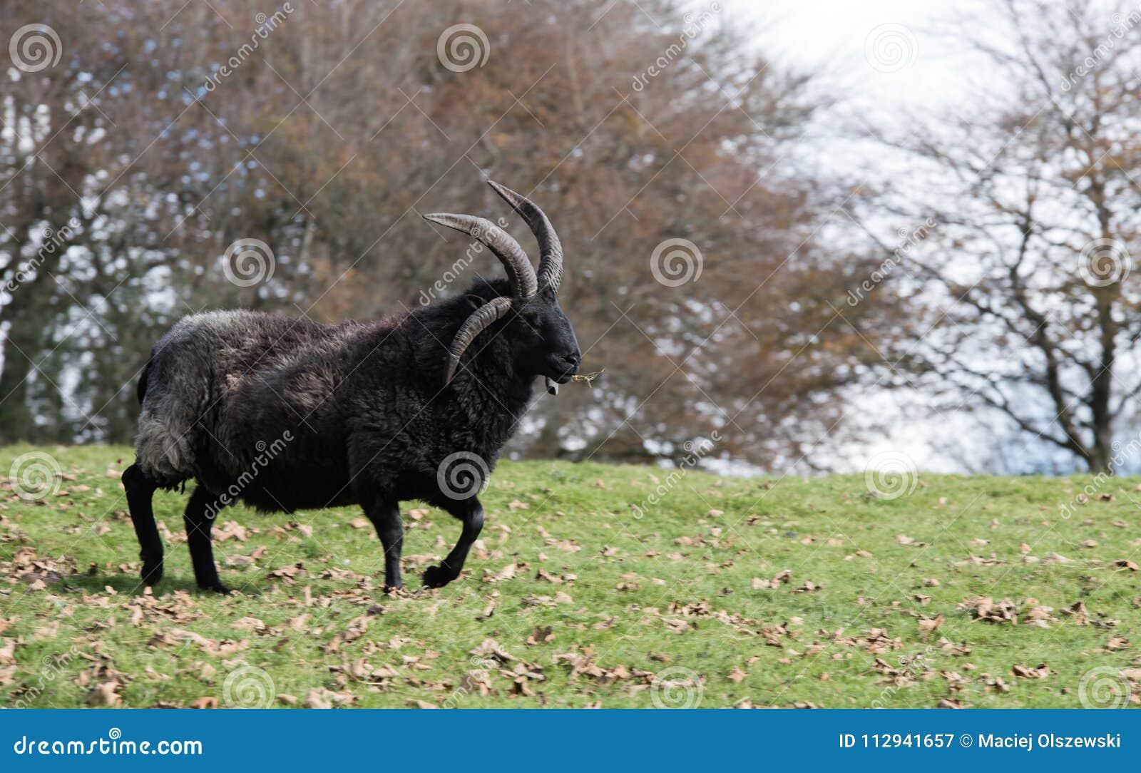 Ram, Sheep, Lamb, Ovis aries