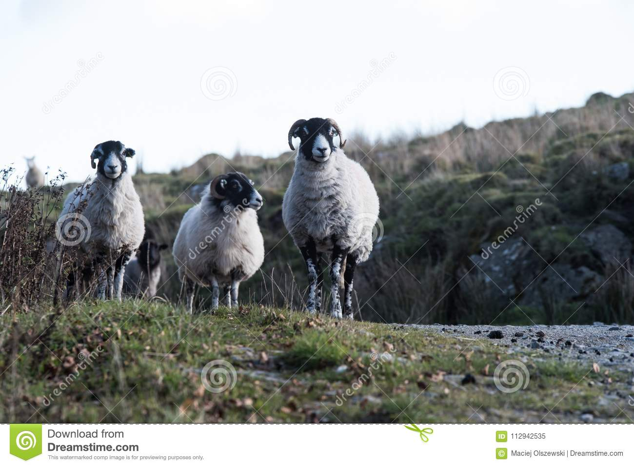 Sheep, Lamb, Ram, Ovis aries
