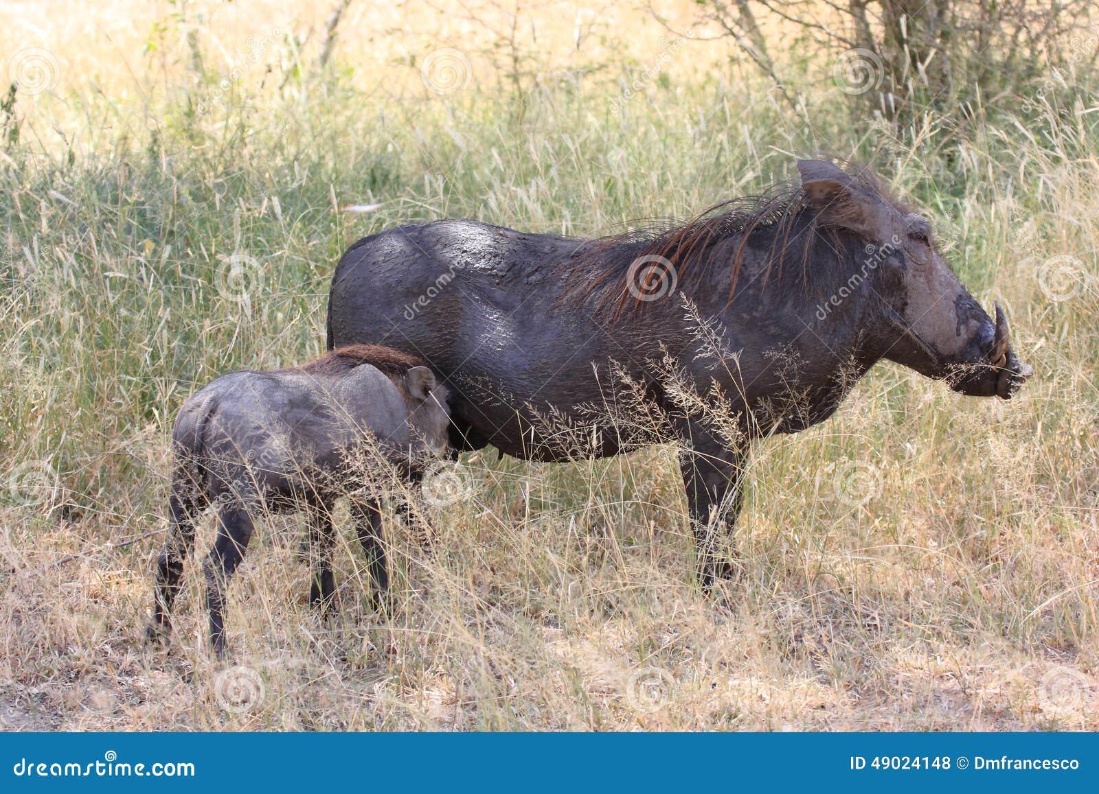 Mammifère d Africain de phacochère
