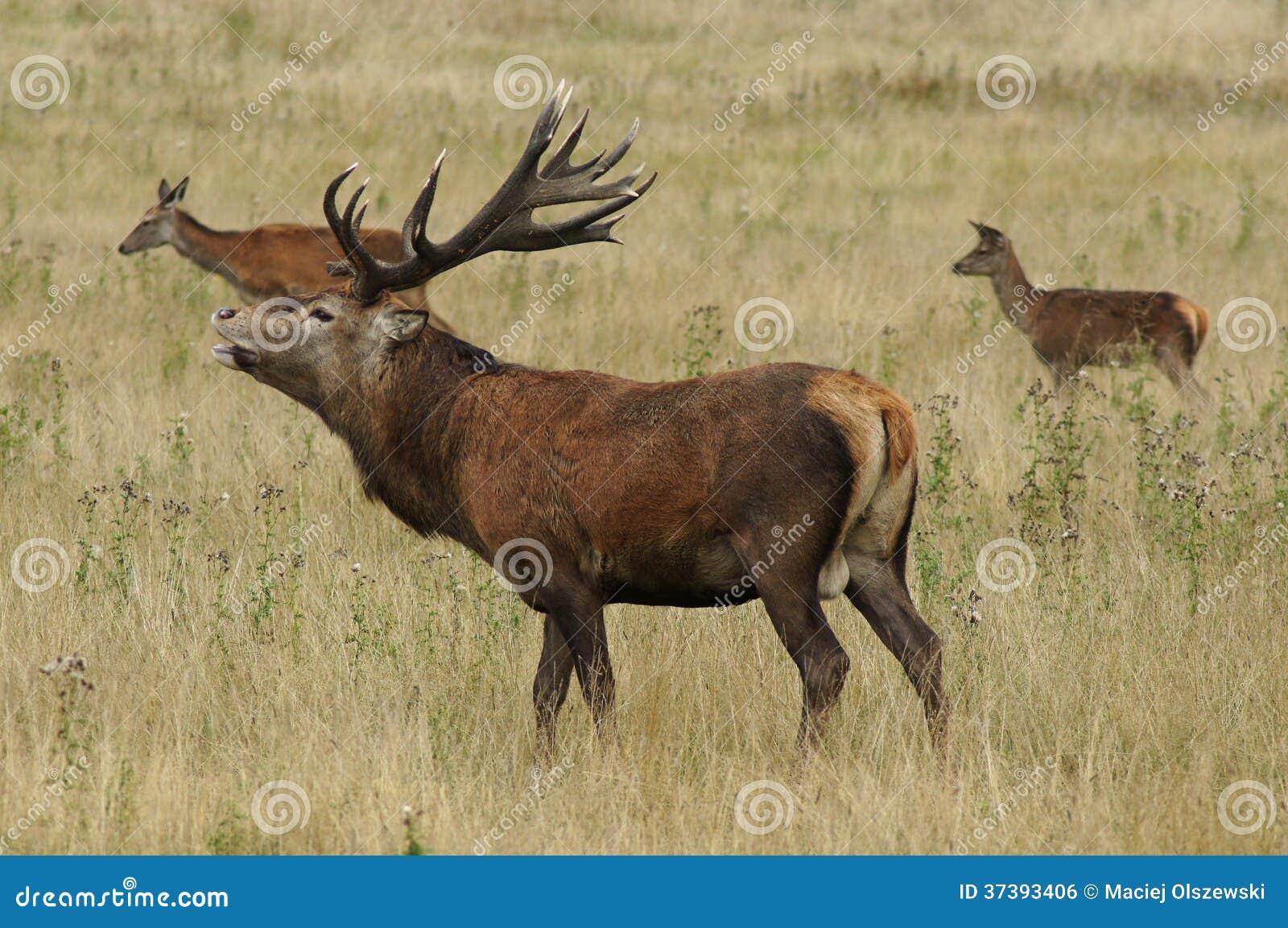 MAMMIFÈRES - Cerfs communs rouges