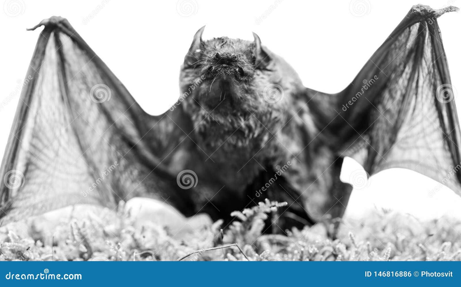 Mammiferi naturalmente capaci del volo vero e continuo Il pipistrello emette il suono ultrasonico per produrre l eco Rivelatore d
