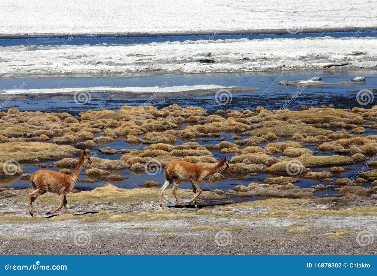 Mammiferi selvaggi che funzionano nel deserto boliviano for Mammiferi che vivono in acqua
