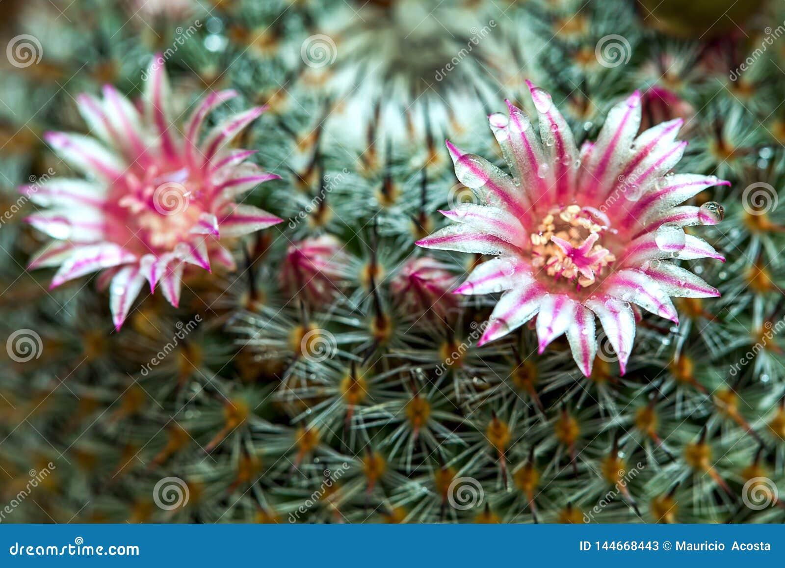 Mammillaria cactus flower with dew