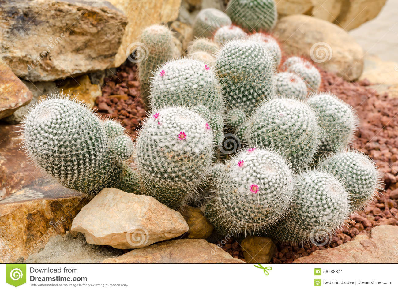 The Cactus Shop - Mammillaria to Myrtillocactus
