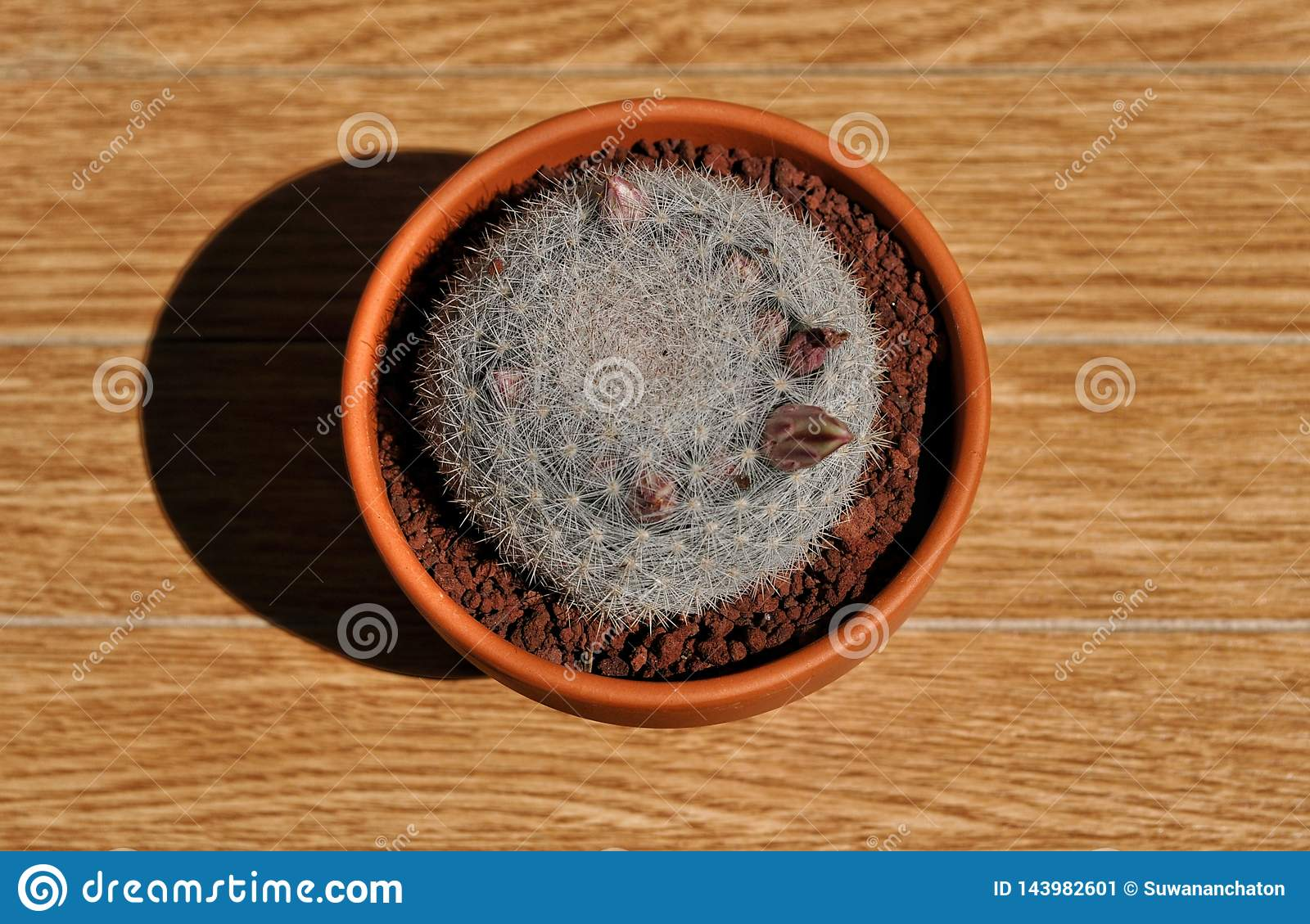 Mammillaria candida in a pot