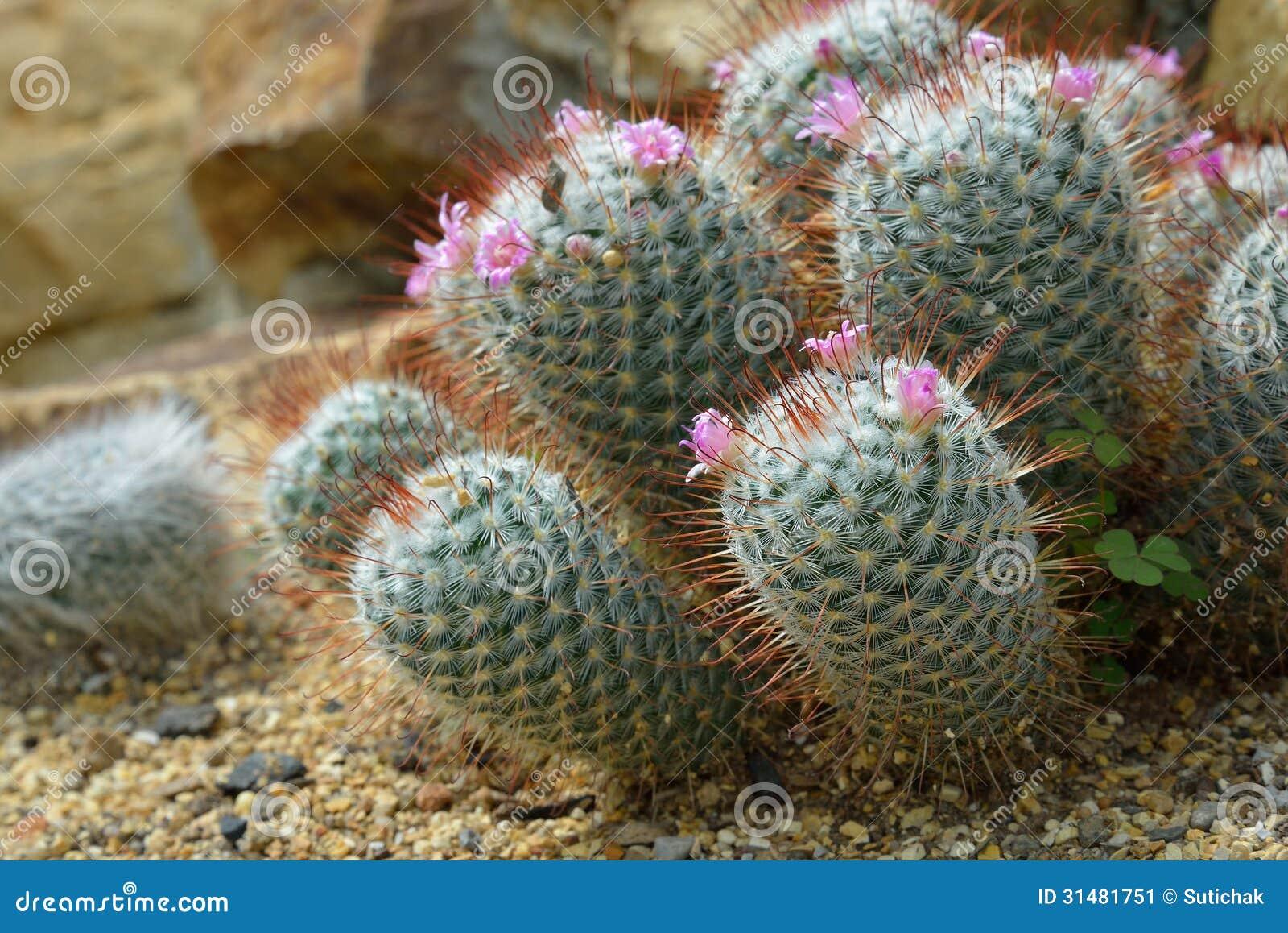 Mammillaria Elegans Cactus Grows In Sand Stock Image  : mammillaria elegans cactus grows sand 31481751 from www.dreamstime.com size 1300 x 958 jpeg 242kB