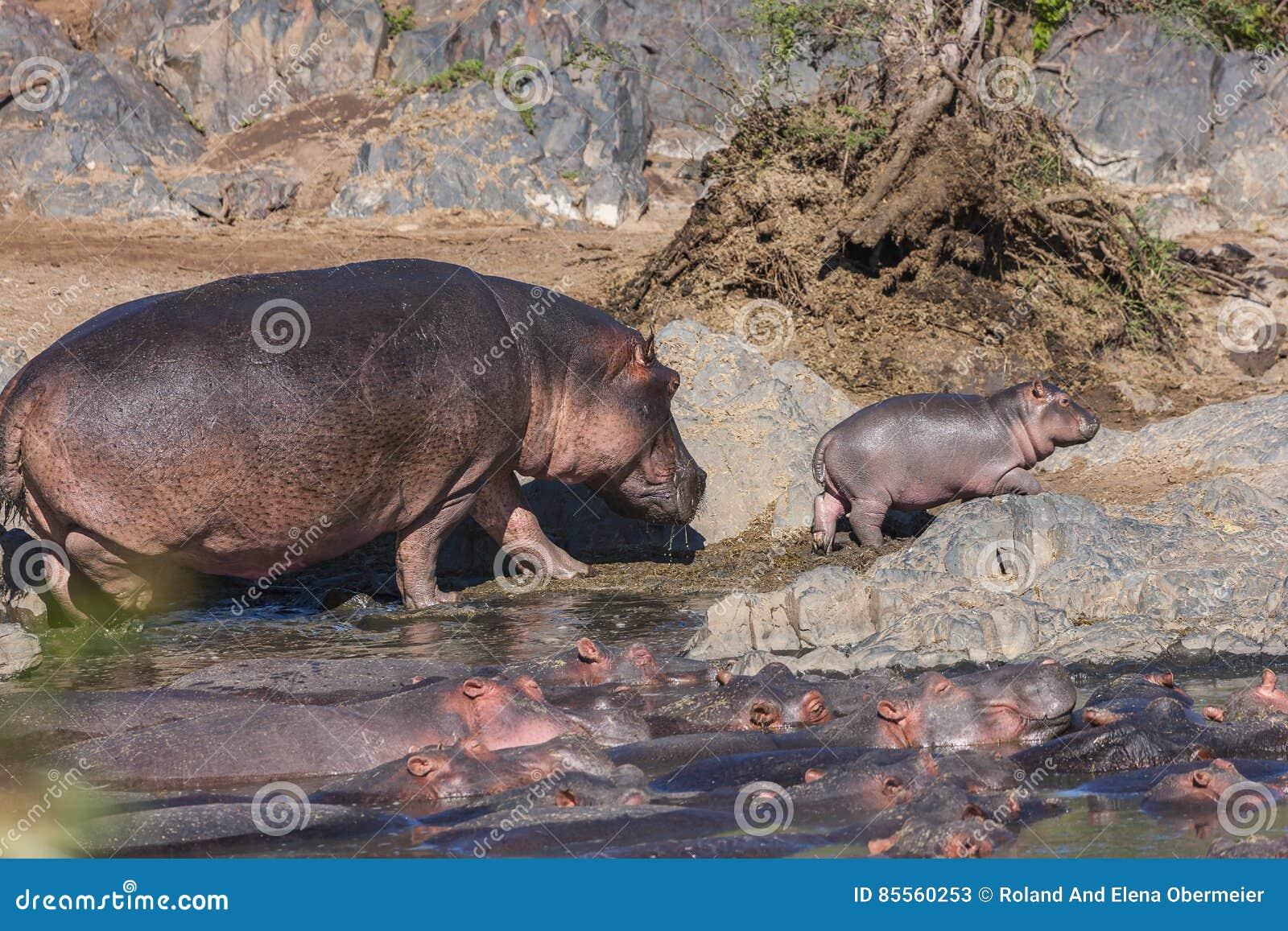 Mamy und Baby-Flusspferd, das spazierengeht