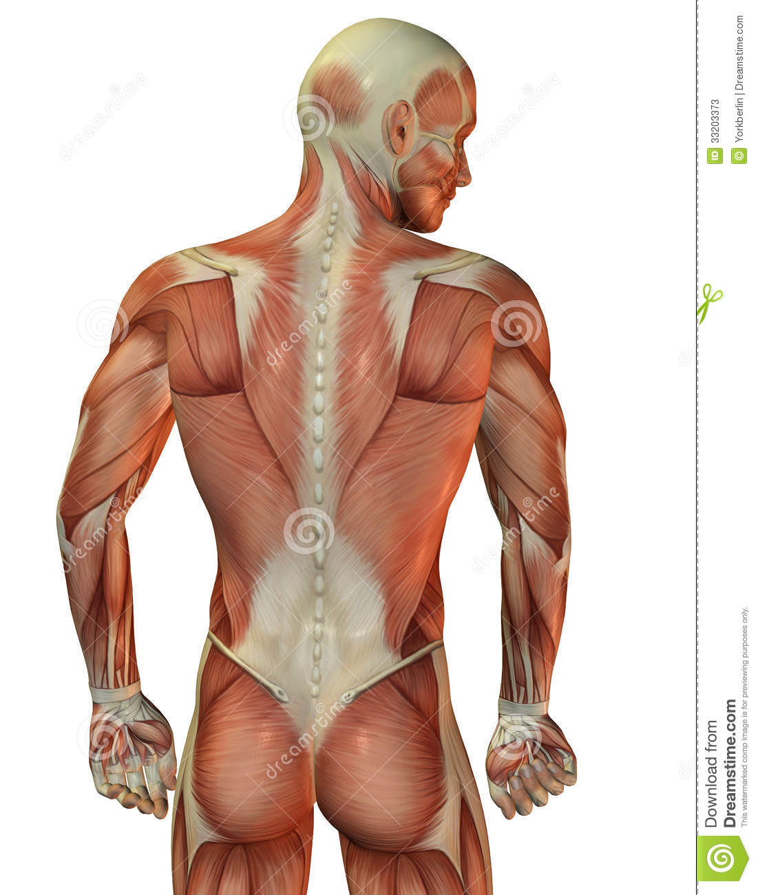 Man Back Muscular Structure Stock Illustration - Illustration of ...