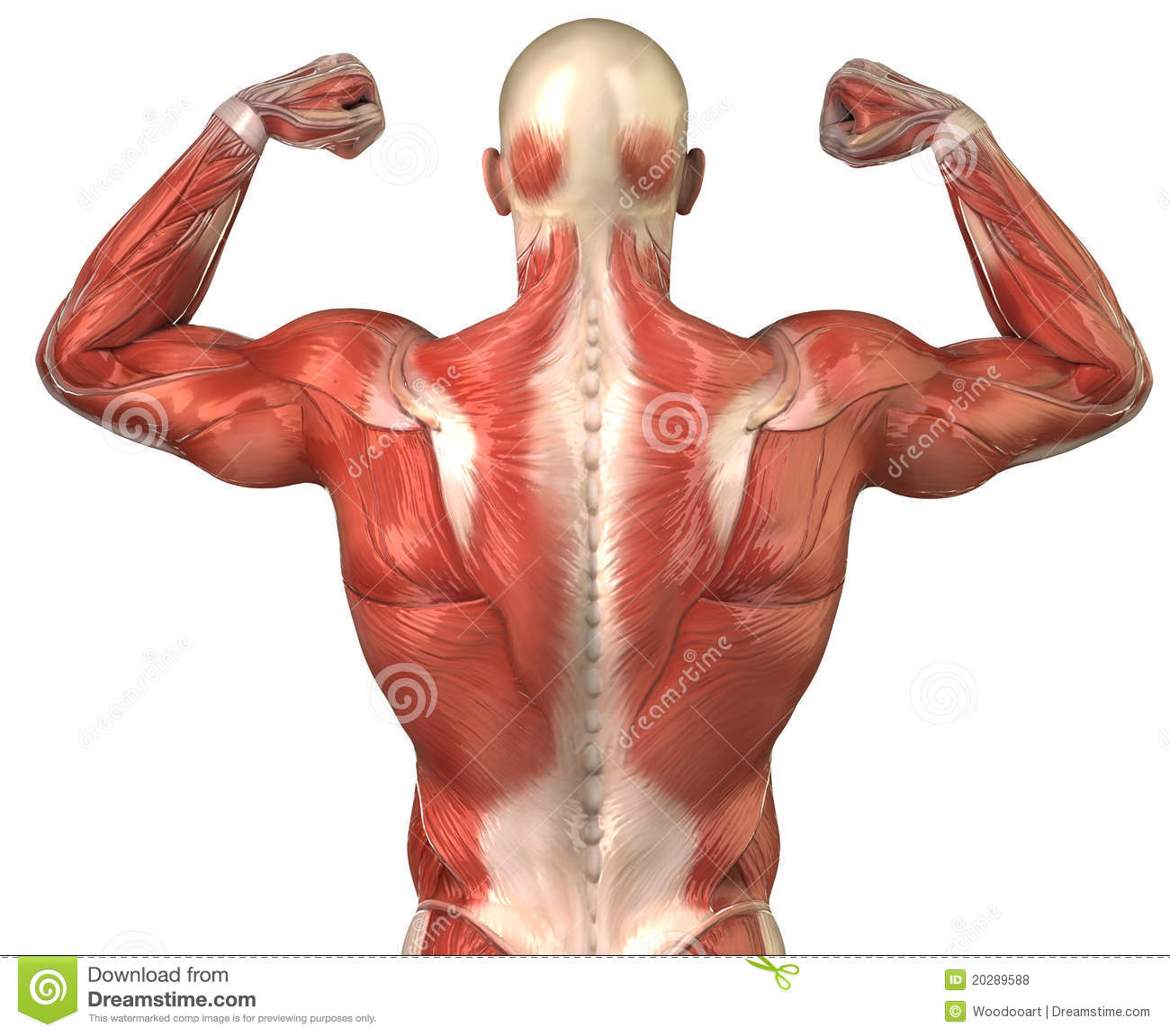 Man Back Muscular System Posterior In Builder Pose Stock ...