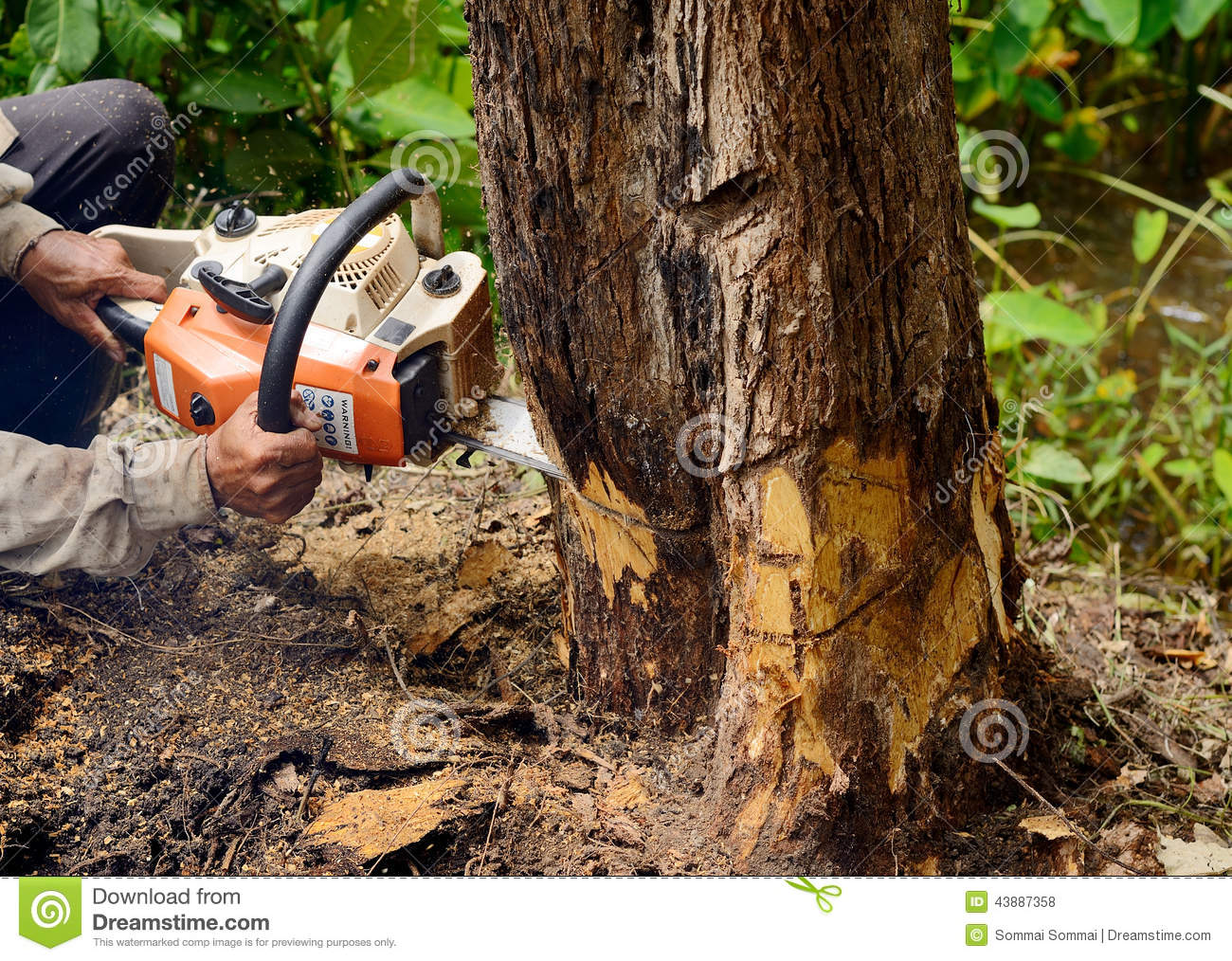 Tractor Man On Cutting Trees : Man with chainsaw cutting the tree stock photo image