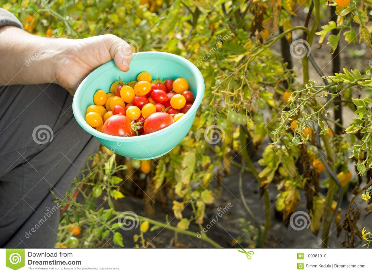 Man collecting an yellow and red tomatoes on the huge garden