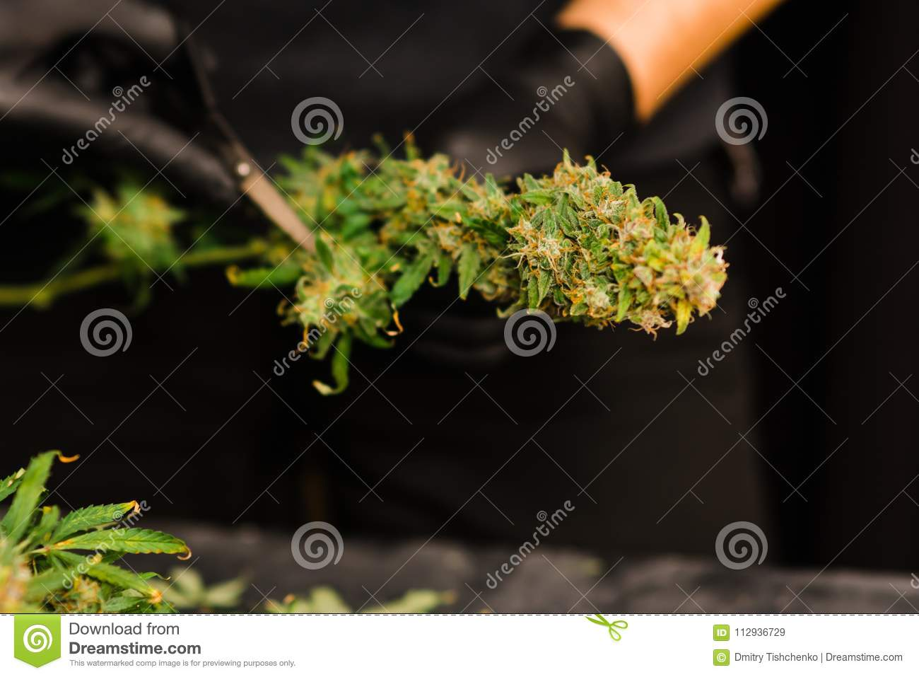 A Man Grower Is Trimming Fresh Harvest Cannabis Buds