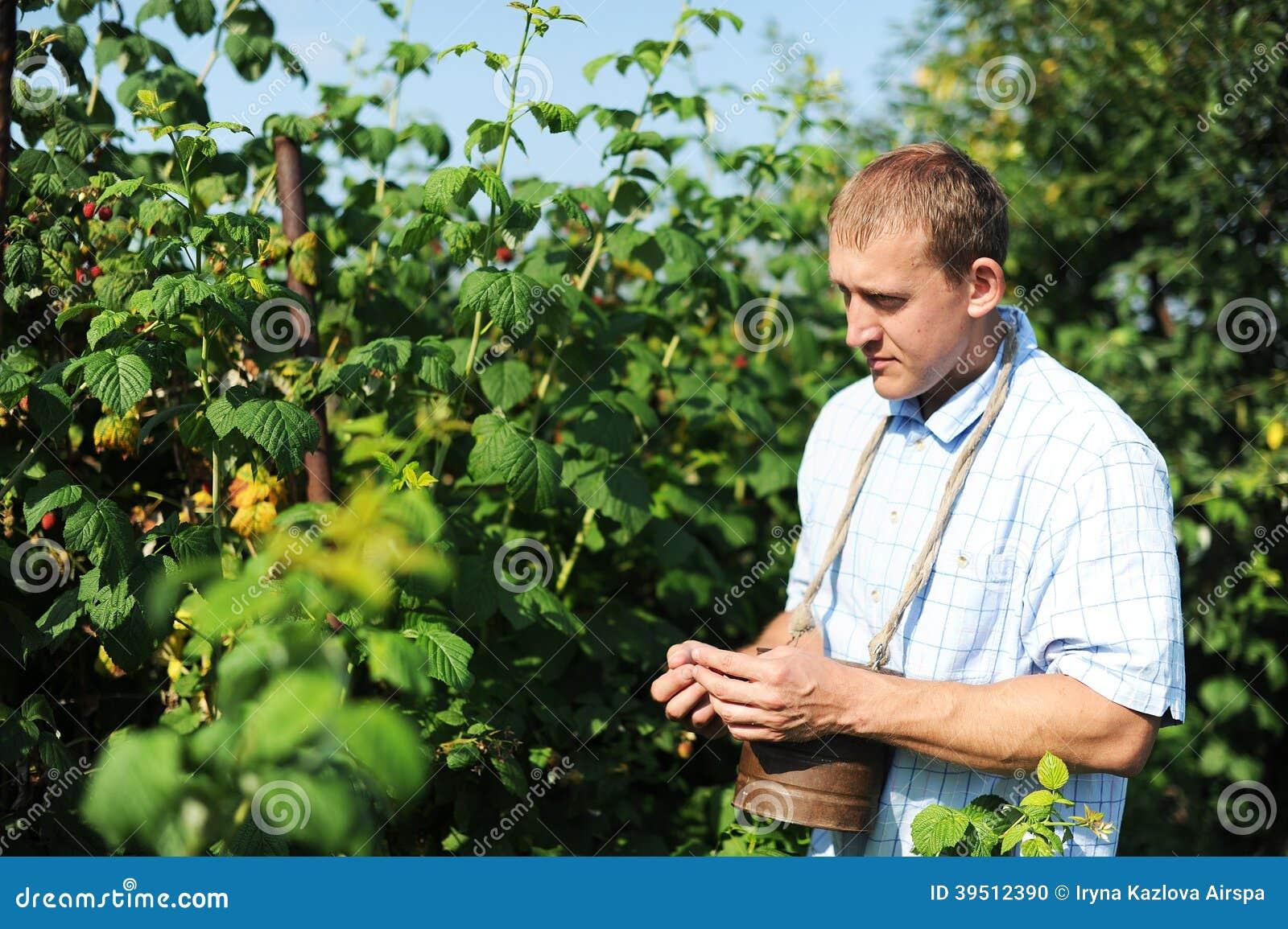 The man gathers raspberry