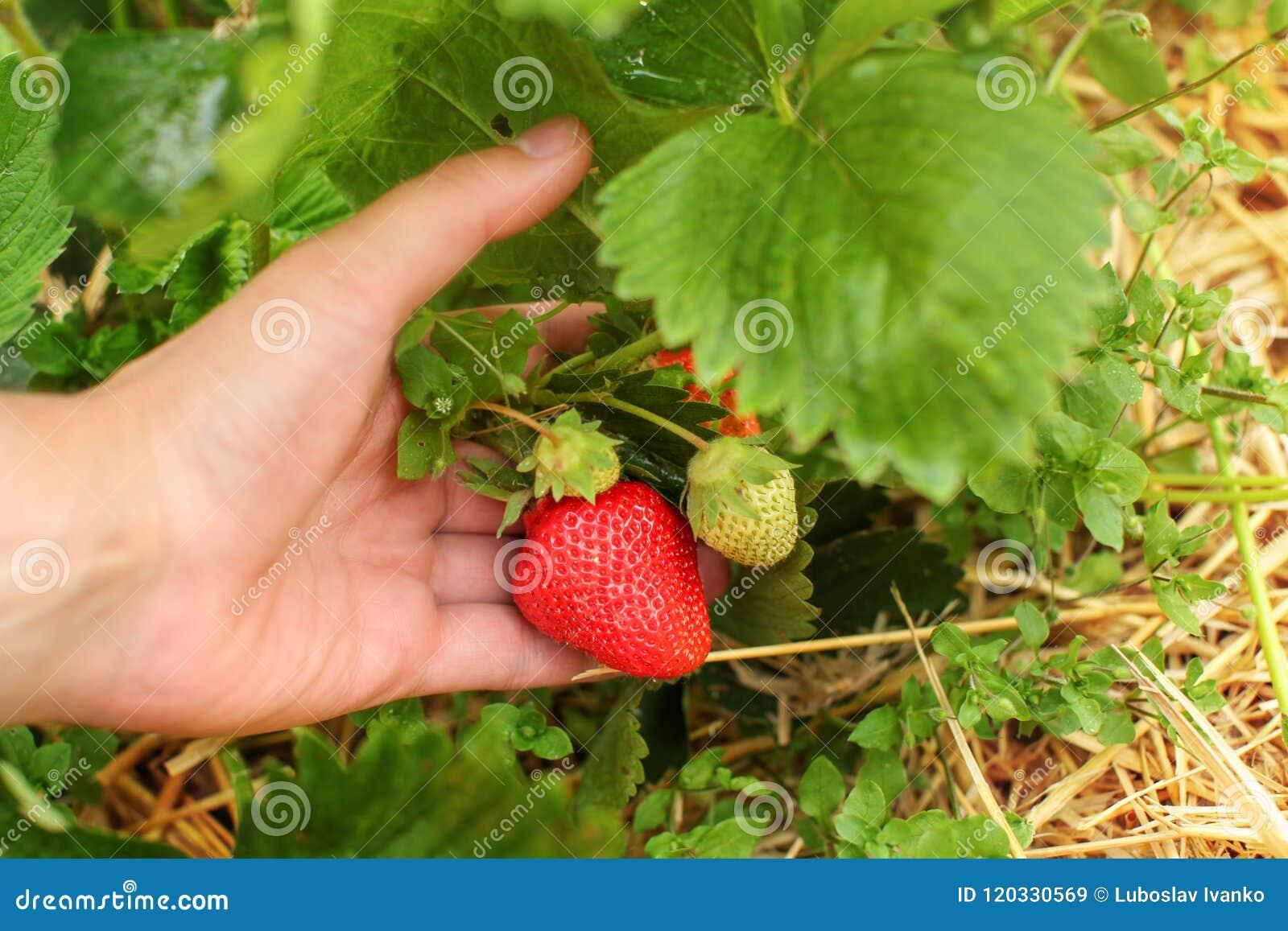 Man hållande jordgubbar för handen i lantgårdfältet som kontrollerar om