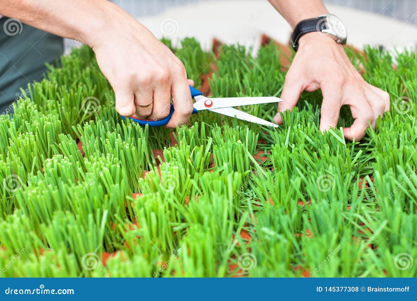 Man handen die het groene gras met schaar snijden, de tuinman snijdt het gras, de greepschaar van mensenhanden en snijden vers gr