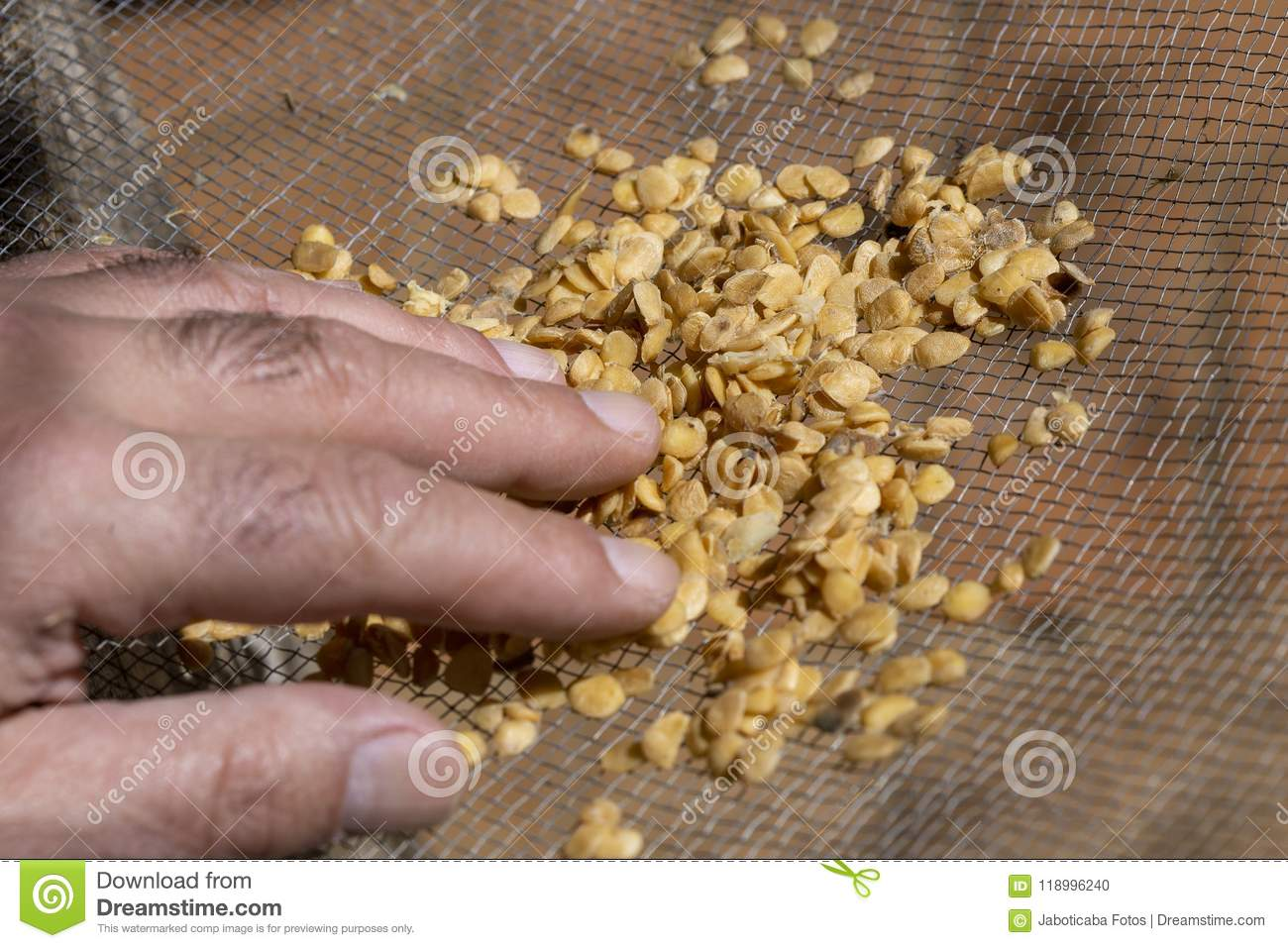 Man Handleing Seeds In The Sieve Stock Photo - Image of