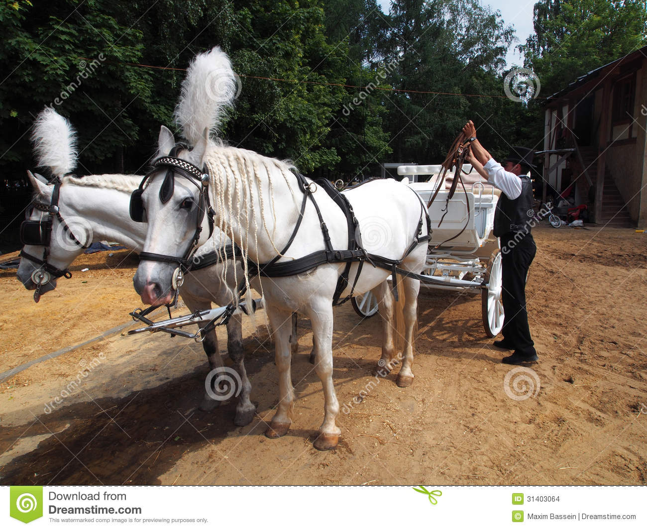 Man Harness Horses Stock Photo  Image Of Culture  House