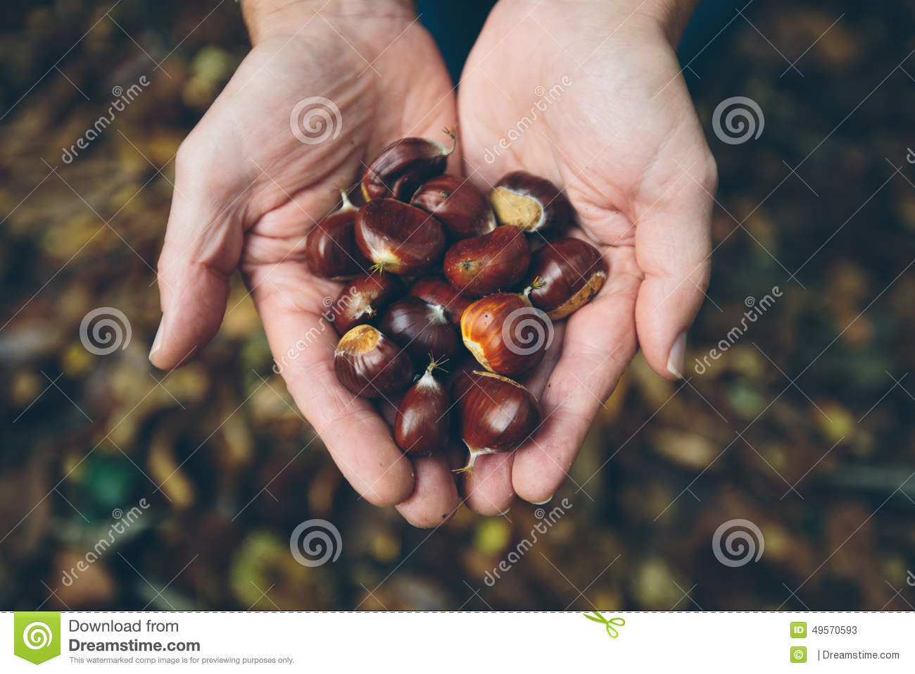 Man Holding Fresh Chestnuts Picked From Forest Floor Stock