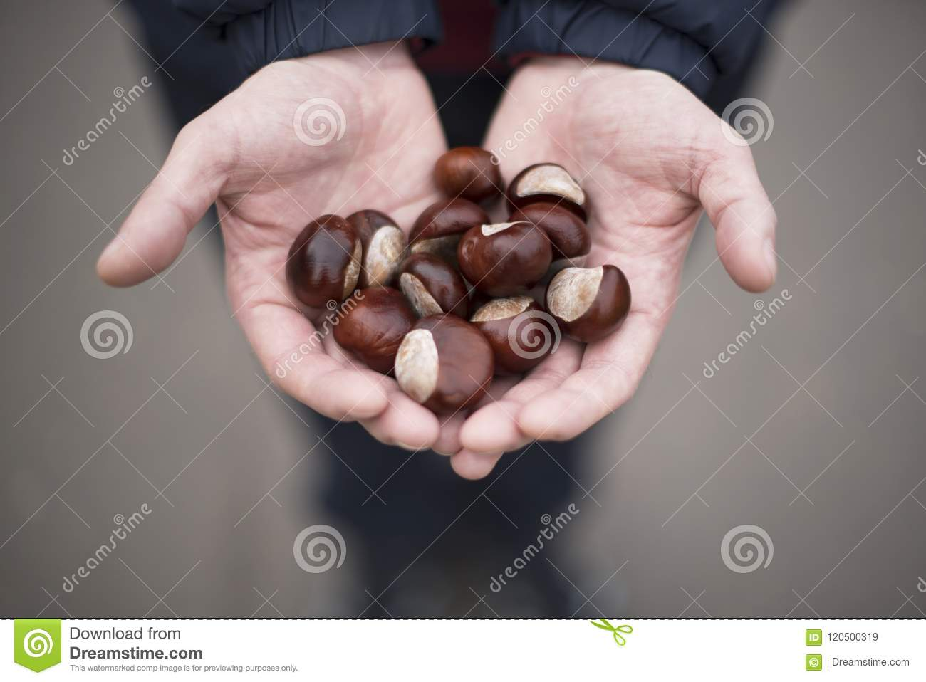 Man holding handful of fresh Chestnuts in the hands.