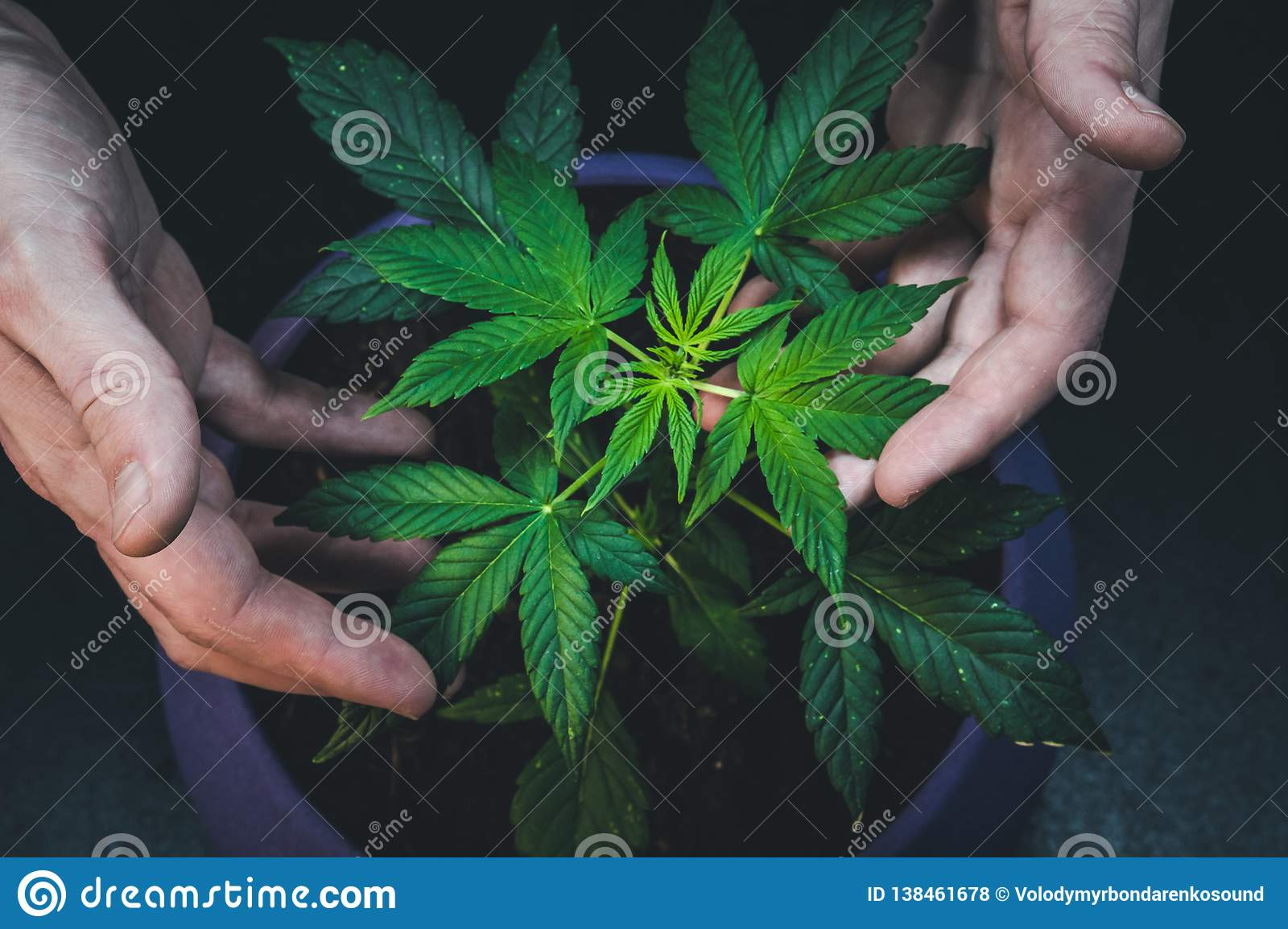 The man is holding leaves of medical marijuana plant. Cannabis growing indoor