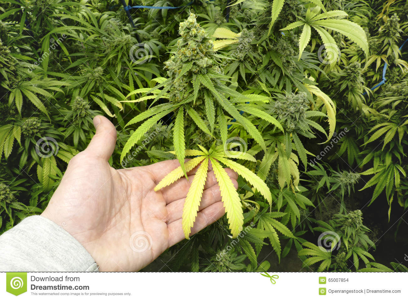 Man holding marijuana leaf on plant with bud at cannabis for Cannabis floraison exterieur