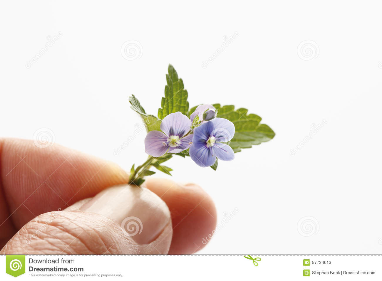 Man Holding Veronica Flowerclose Up Stock Image Image Of White
