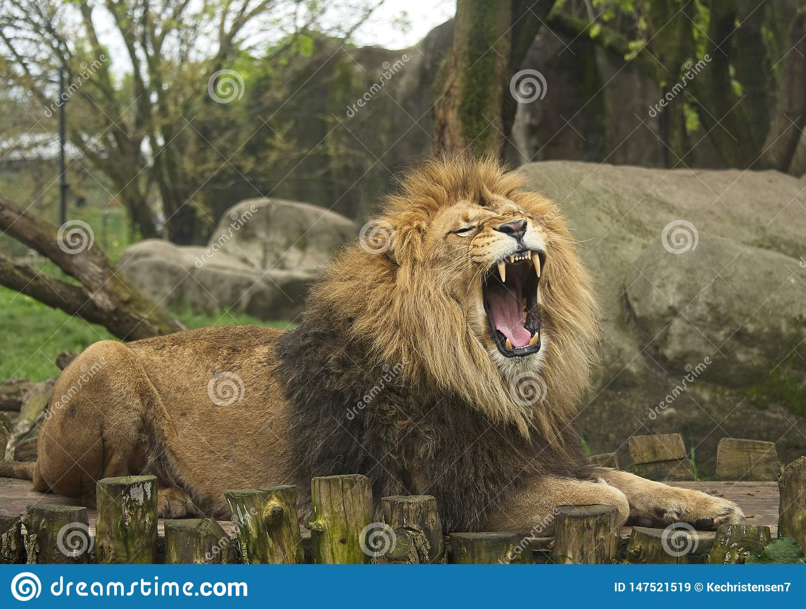 Man Lion Roars Ferociously på zoo