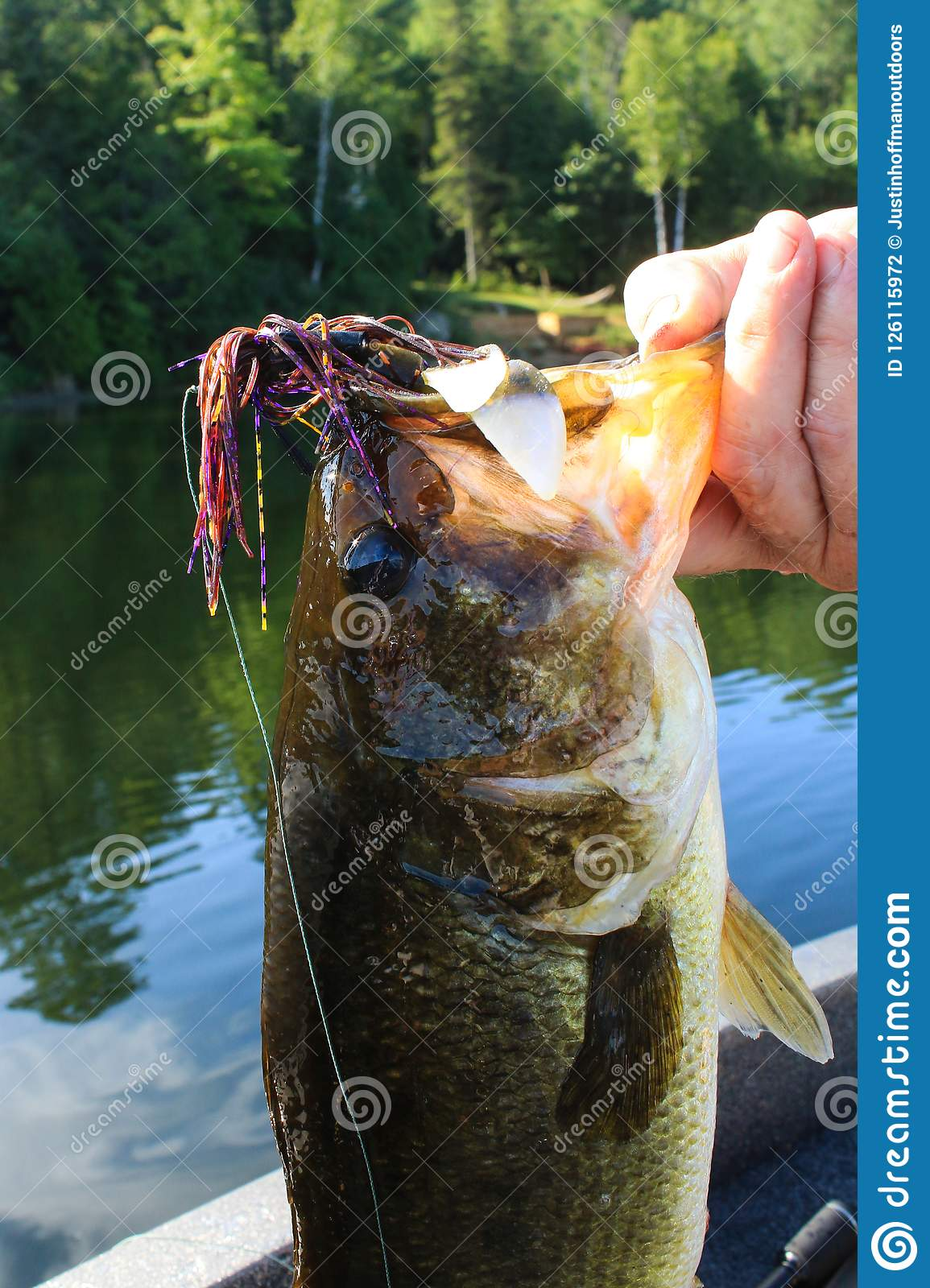 Man Lips Large Mouth Bass Caught on Flipping Jig Lure