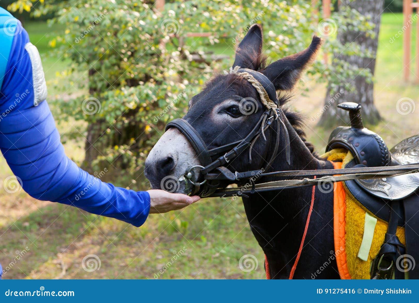Man med handen som matar en åsna