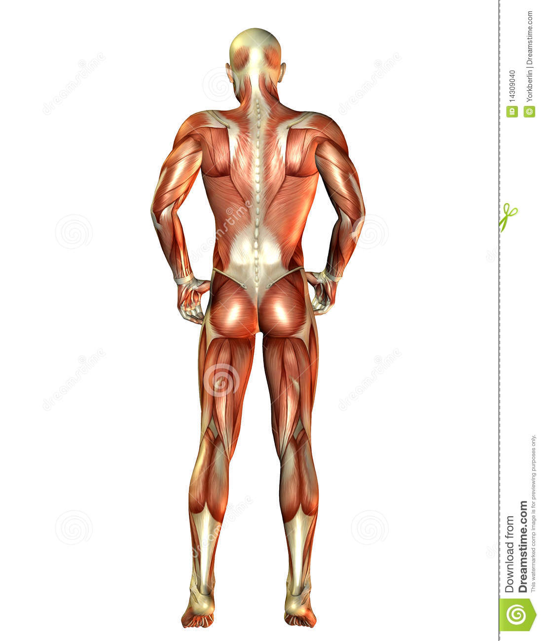 man muscles back view stock photo - image: 14309040, Muscles