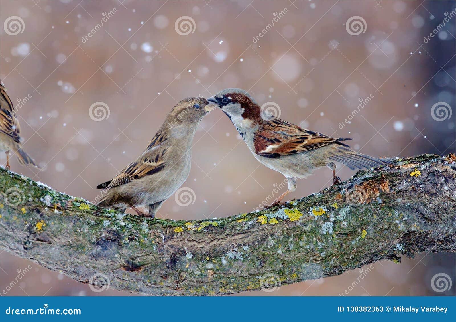 Man och kvinnliga gråsparvar som dansar i snöstorm