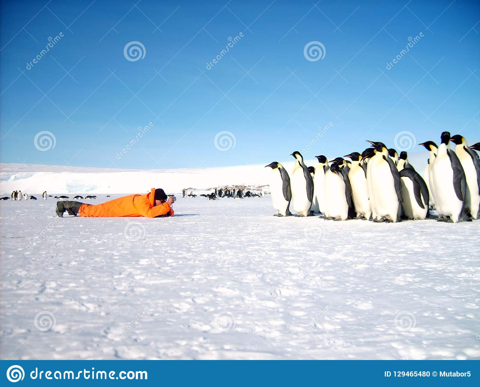 A man in an orange suit explores a colony of emperor penguins.