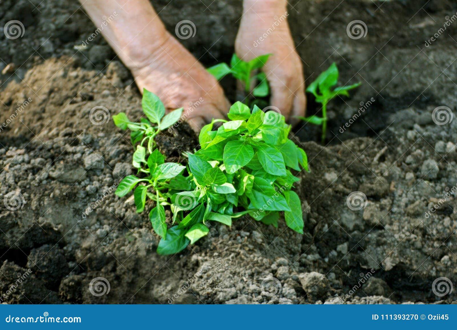 Man planting seedlings.