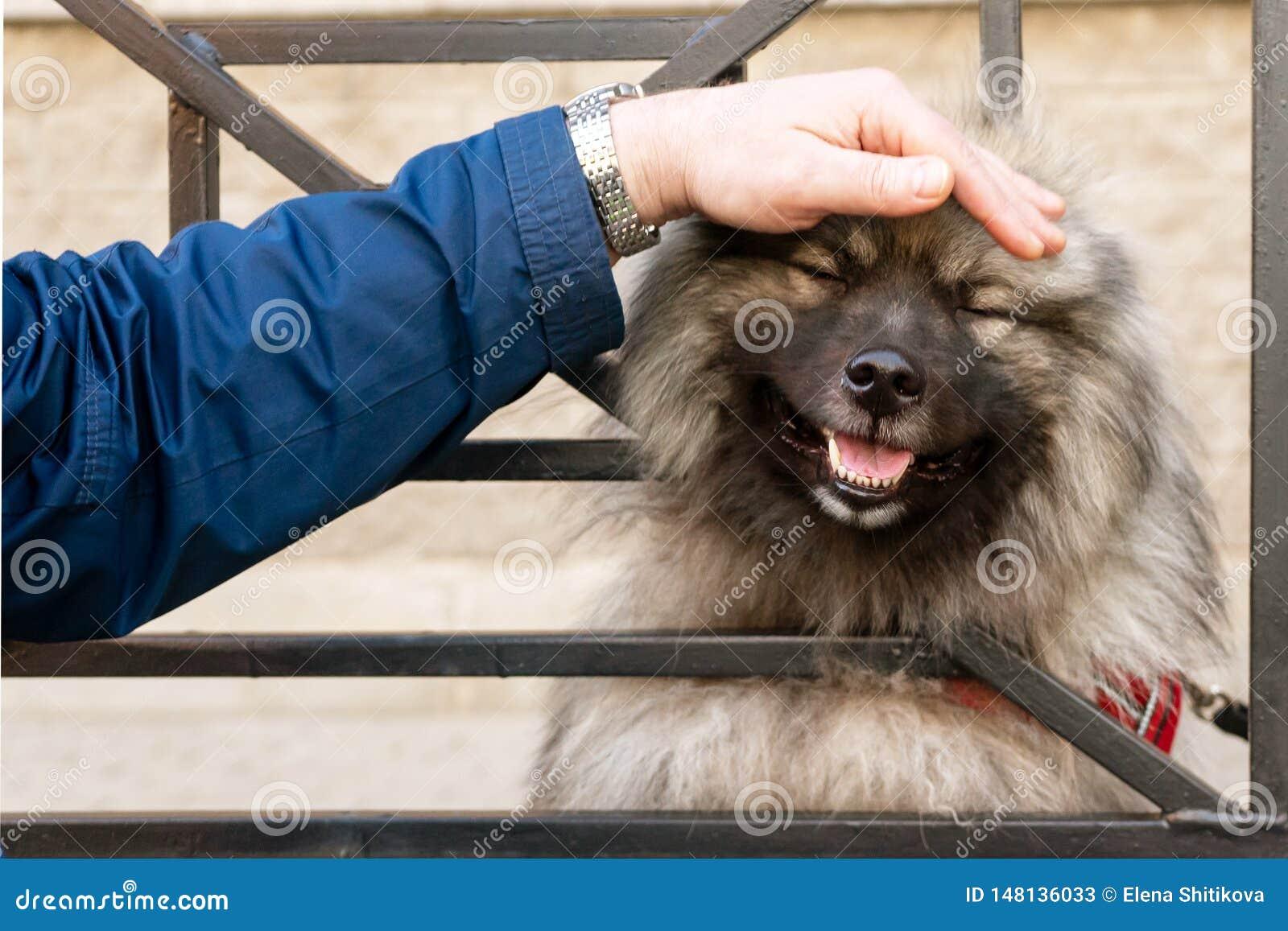 A man`s hand strokes the dog`s head, looking through the bars. Fun dog Wolfschitz.
