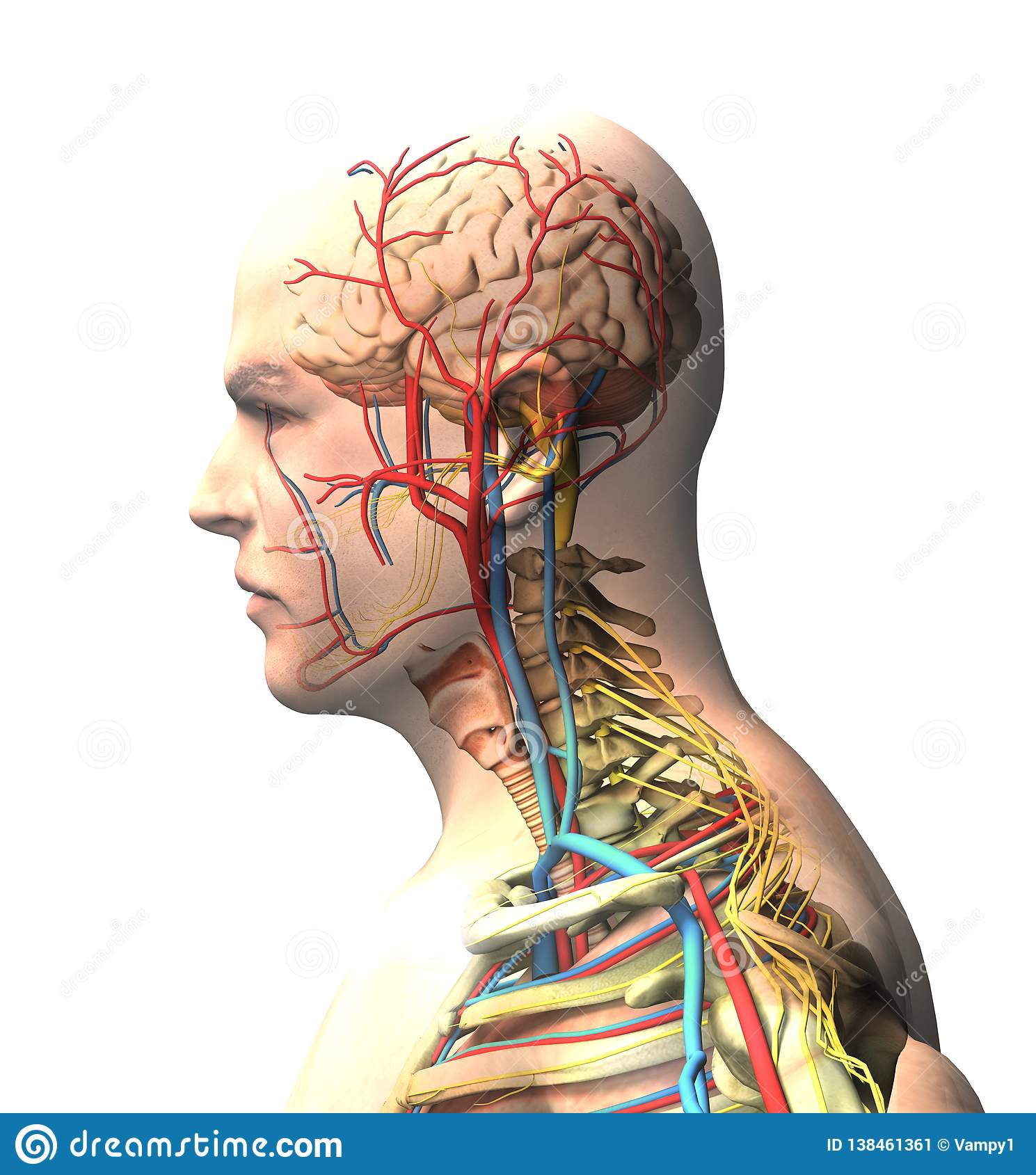 Man seen from the side, brain, face, x-ray view of arteries and veins, spine and rib cage