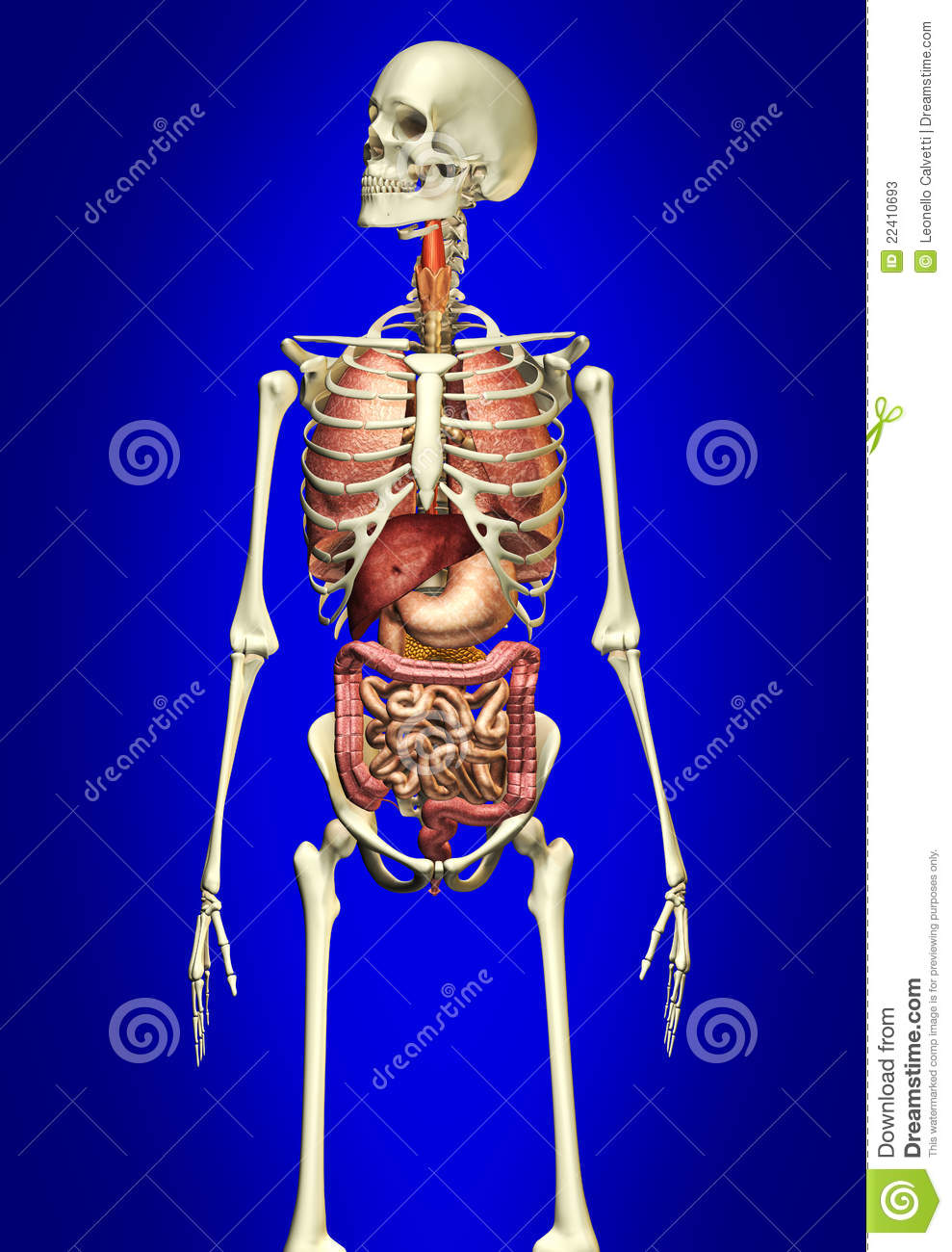 Man Skeleton With Internal Organs Stock Illustration - Illustration ...