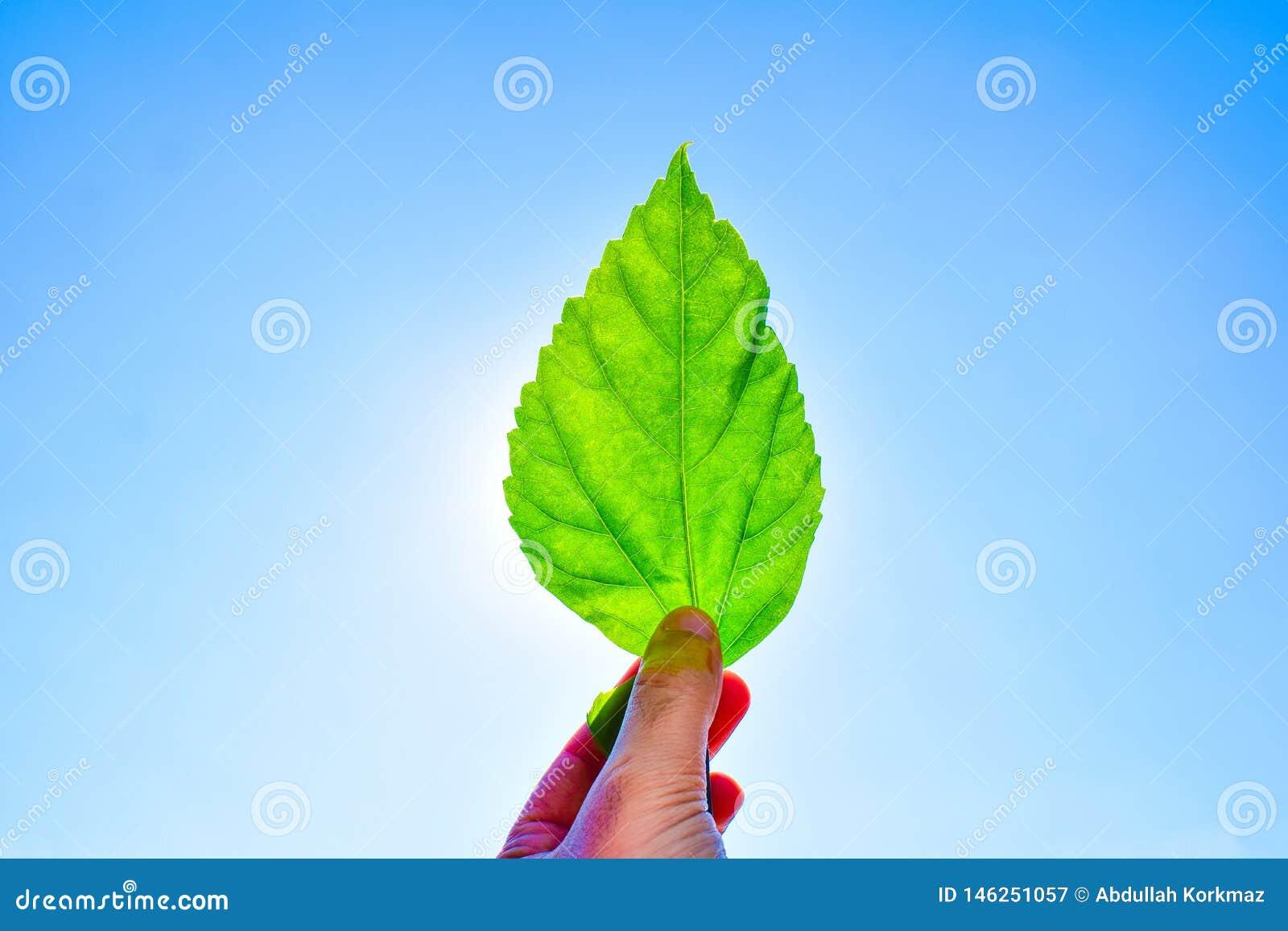 Man som rymmer det gröna bladet mot till solen och blå himmel