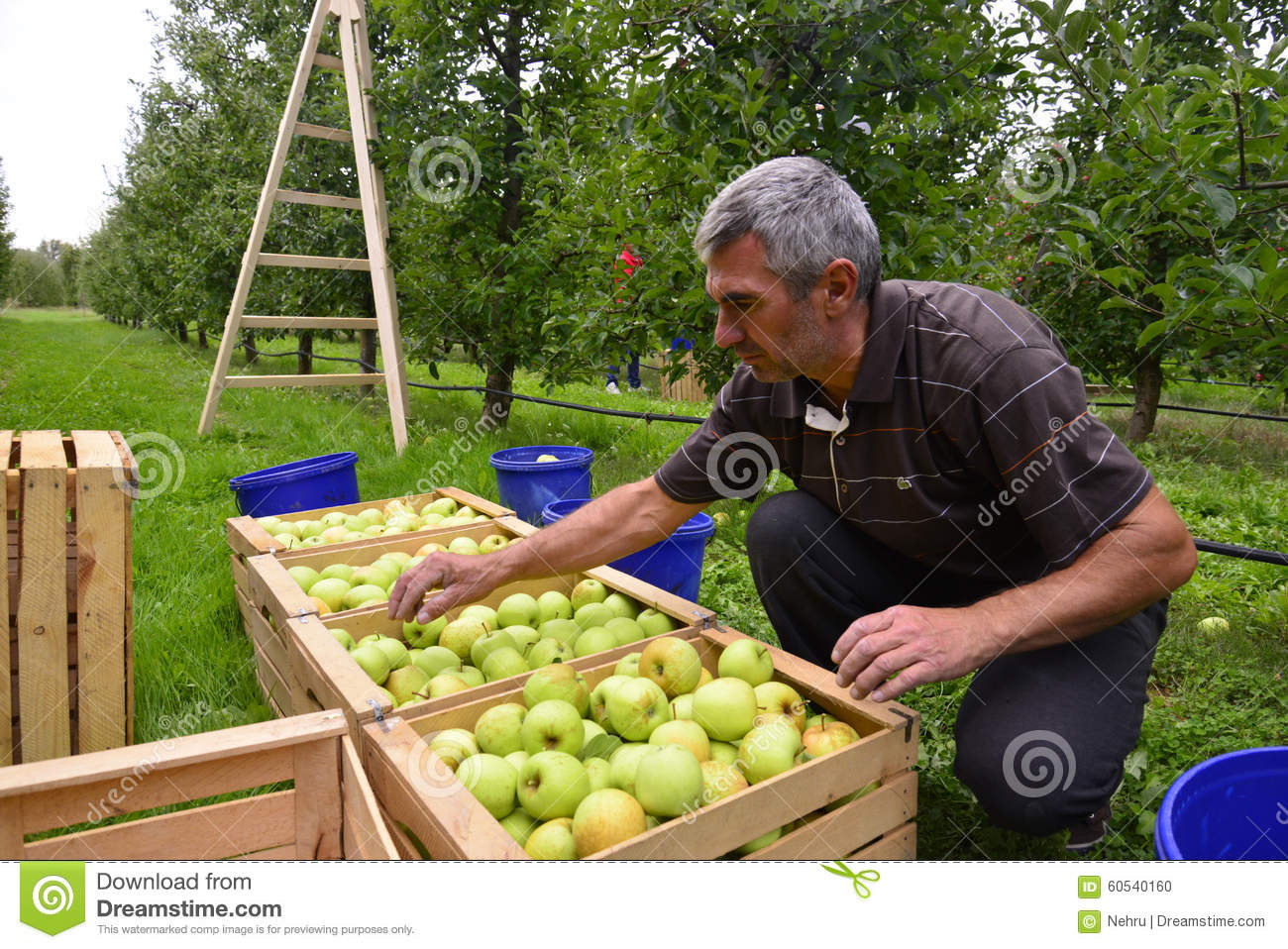 Man sorting apples in the orchard in Resen, Macedonia