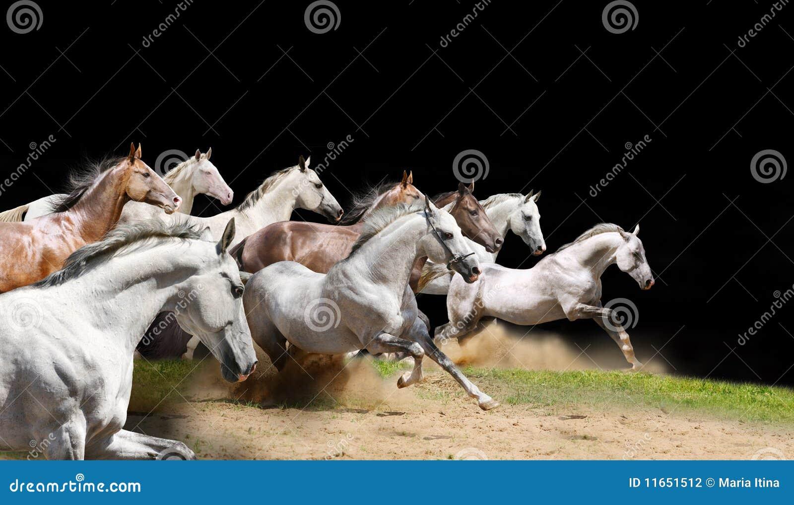 Manada criada en línea pura de los caballos en negro