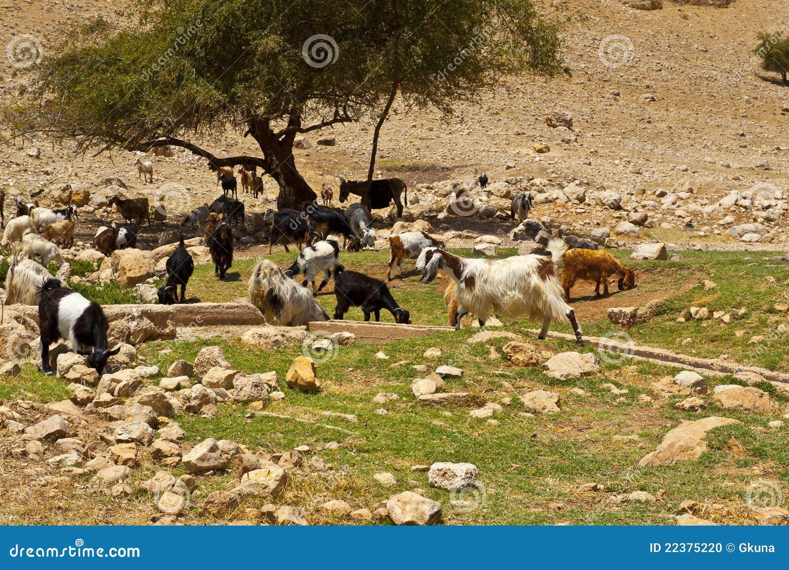 Manada de cabras foto de archivo imagen 22375220 - Bater roca precios ...